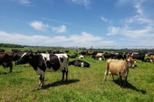 Picture of Holstein cows in a pasture